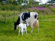 Продам корову 3-м отелом и телочку 7 месяцев